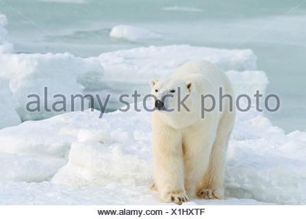 L'ours polaire (Ursus maritimus). Cape Churchill, Manitoba. Banque D'Images