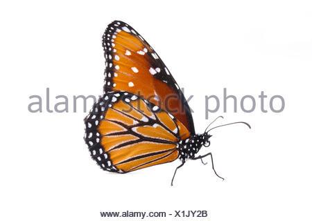 Papillon Danaus gilippus (Queen) féminin, Brackenridge, laboratoire de terrain, comté de Travis, Texas, USA. Banque D'Images