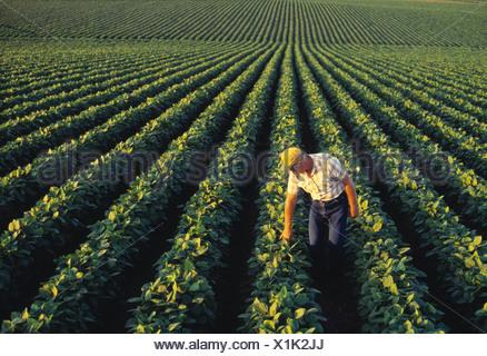 Agriculture - un agriculteur l'inspection de son champ de soja de la croissance moyenne en fin d'après-midi la lumière / Iowa, États-Unis. Banque D'Images