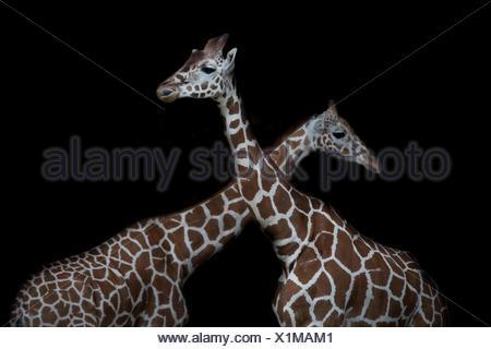 Deux girafes réticulé en face de fond noir Banque D'Images