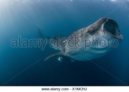 Vue latérale du sous-marin requin-baleine alimentation, bouche ouverte, Isla Mujeres, Mexique
