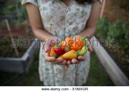 Close up adolescent multicolore holding peppers in garden Banque D'Images