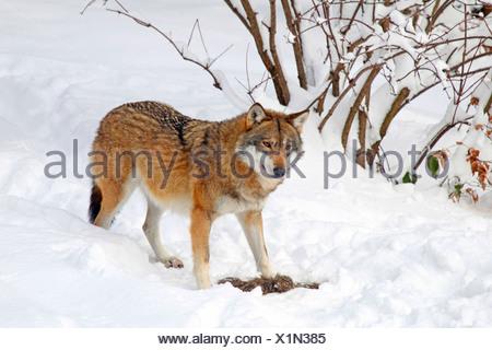 Le loup gris d'Europe (Canis lupus lupus), dans la neige, Allemagne Banque D'Images