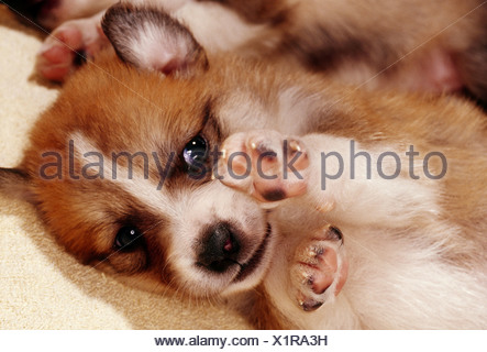 Naissance: half breed chien chiot trois semaines Banque D'Images