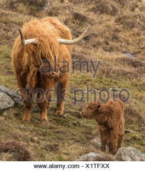 Highland vache and veau, Isle of Harris, Écosse, Royaume-Uni Banque D'Images