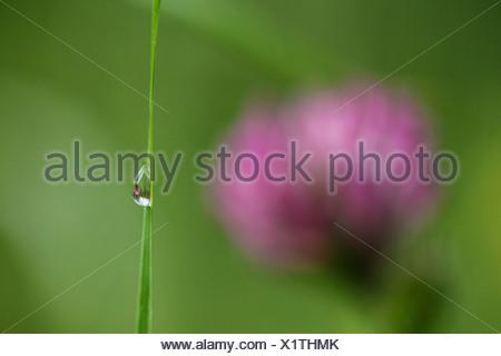 L'Allemagne, l'eau goutte sur brin d'herbe, close-up Banque D'Images