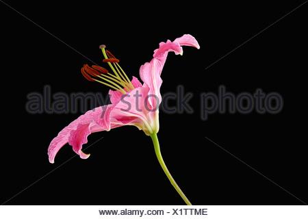 Lily rose sur fond noir Banque D'Images