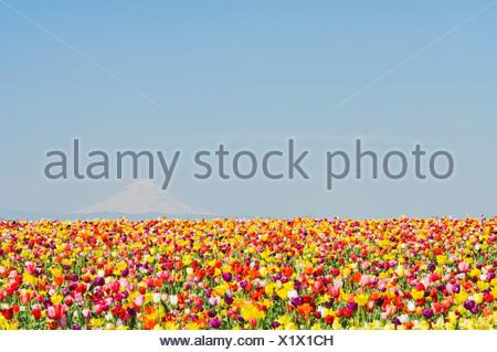 Mt. Capot et de sabots de bois; Tulipes Tulip Farm, Woodburn, Oregon, USA Banque D'Images