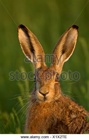 European Brown Hare (Lepus europaeus) dans la lumière du soir. Banque D'Images