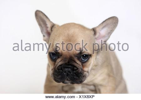 Bouledogue français (Canis lupus familiaris). Portrait d'un chiot fauve Banque D'Images