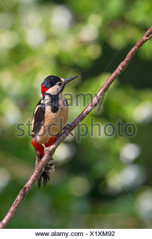 Great spotted woodpecker (Picoides major, Dendrocopos major), homme d'une branche, Allemagne Banque D'Images