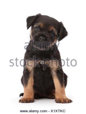 Border Terrier puppy, l'âge de 5 semaines. Banque D'Images