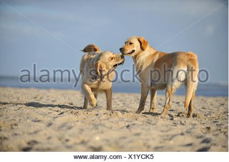 Labrador et Golden Retriever Banque D'Images