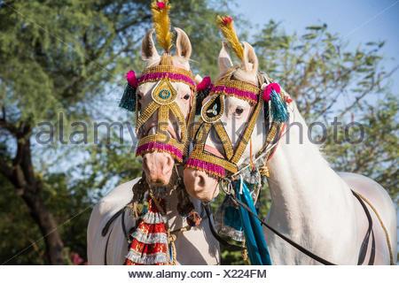 Chevaux Marwari. Paire de chevaux décorés (dominat juments blanches). Le Rajasthan, Inde Banque D'Images
