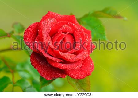 Red Rose (Rosa) avec les gouttes de pluie, Rebell variété, Rhénanie du Nord-Westphalie, Allemagne Banque D'Images