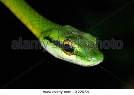 Perroquet vert serpent (Leptophis ahaetulla), Portrait, Costa Rica