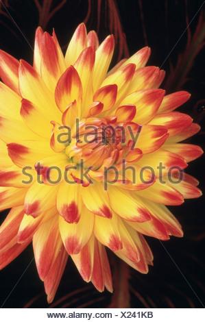 Dahlia 'Aloha' Bridgeview, jaune et fleur rouge. Banque D'Images