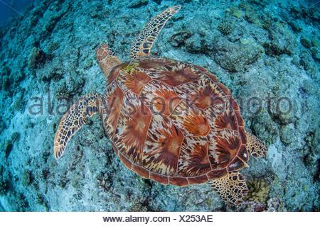 Tortue de mer verte, Palau (Chelonia mydas) Banque D'Images