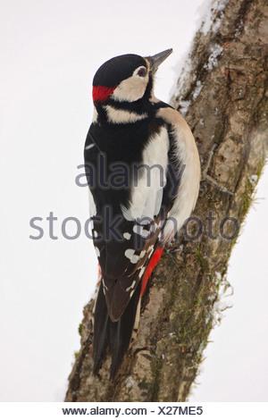 - Pic au niveau de la branche mâle / Dendrocopos major Banque D'Images