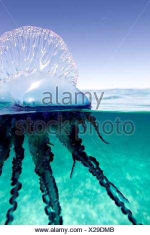 Sur/sous-vue d'un homme de guerre Portugais, d'un invertébré marin, comme de la gelée de la famille. Physallidae Banque D'Images