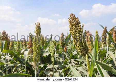Champ de sorgho ou de Millet avec fond de ciel bleu Banque D'Images