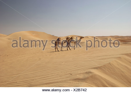 Arabian chameaux ou dromadaires (Camelus dromedarius) dans le désert sur la route d'oasis de Liwa, Rub Al Khali, l'Émirat d'Abu Dhabi Banque D'Images