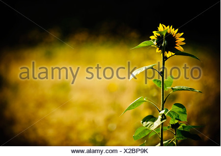 Tournesol solitaire growing in field Banque D'Images