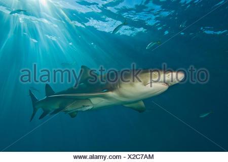 Le requin citron (Negaprion brevirostris) sous les rayons du soleil. Petit banc des Bahamas, Bahamas. Ouest de l'océan Atlantique. Banque D'Images