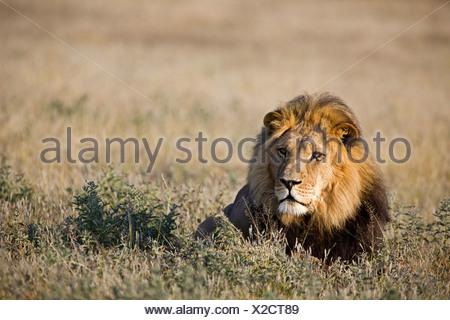 L'Afrique, Botswana, Adult male lion (Panthera leo) reposant sur l'herbe Banque D'Images
