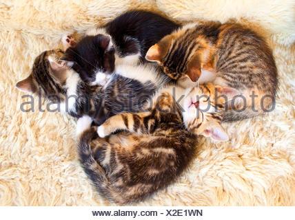 Chat domestique, le chat domestique (Felis silvestris catus). f, quatre chatons fatigués de câlins, Allemagne Banque D'Images
