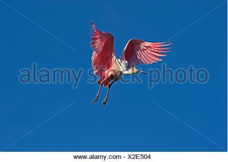 Roseate Spoonbill Platalea ajaja arrivant sur la terre USA Floride Sanibel Banque D'Images