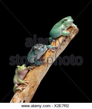 Trois grenouilles d'arbre sur une branche Banque D'Images