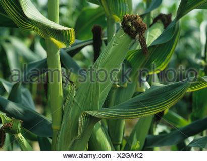 Les symptômes de carence en magnésium sur s/n et les feuilles de maïs ou de maïs Banque D'Images