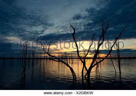 Arbres Mopane morts (Colophospermum mopane) partiellement submergée dans le lac Kariba au coucher du soleil, Matusadona National Park, Zimbabwe Banque D'Images