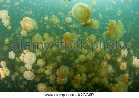 Un groupe de méduses, Jellyfish lake, Palau (Mastigias) Banque D'Images