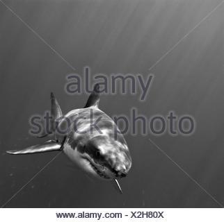 Portrait d'un grand requin blanc, Carcharodon carcharias, natation. Banque D'Images