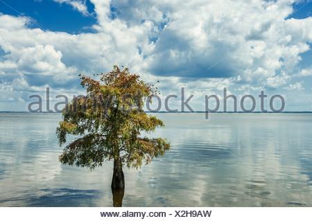 Lone cypress tree dans l'eau. Taxodium distichum Banque D'Images