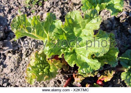 Jeunes pousses d'un progrown la rhubarbe du groun