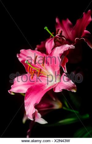 Fleurs de Lys sur fond noir, Close up Banque D'Images