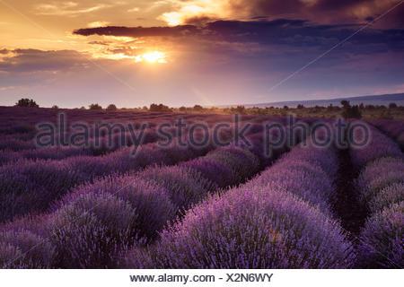 Lever de soleil sur champ de fleurs de lavande Banque D'Images