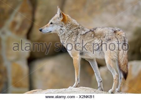 Le chacal doré (Canis aureus), debout sur un rocher à out