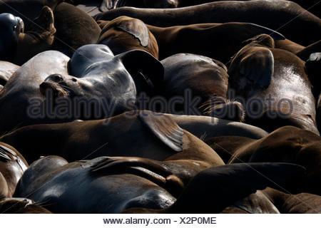 Les Lions de mer se serrent les uns près des autres au Pier 29 à Fisherman's Wharf à San Francisco, Californie. Banque D'Images