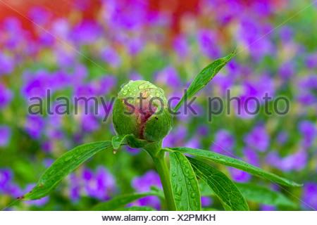 Bourgeon de pivoine (Paeonia officinalis) après la pluie Banque D'Images