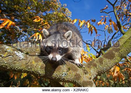 Politique raton laveur (Procyon lotor), six mois d'escalade dans un arbre mâle, Allemagne Banque D'Images