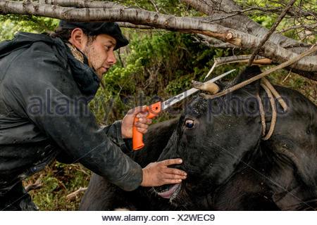 Un bagualero, un cow-boy qui, de l'élevage sauvage capture une scie à cornes de vache pour protéger son cheval contre les blessures, lorsqu'il apporte la gc retour au ranch. Banque D'Images