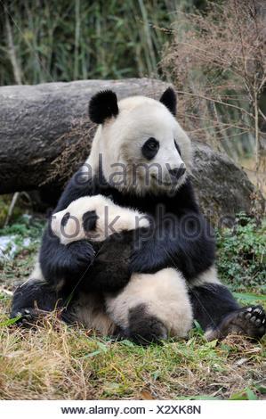 Panda géant (Ailuropoda melanoleuca) mère et son petit. La réserve naturelle de Wolong, Wenchuan, dans la province du Sichuan, Chine. En captivité. Banque D'Images