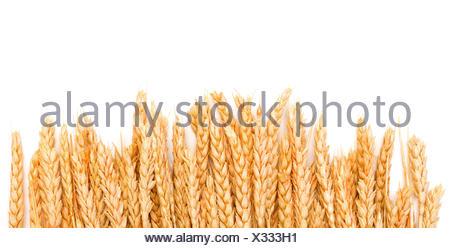 Les épis de blé d'or de la gerbe Banque D'Images