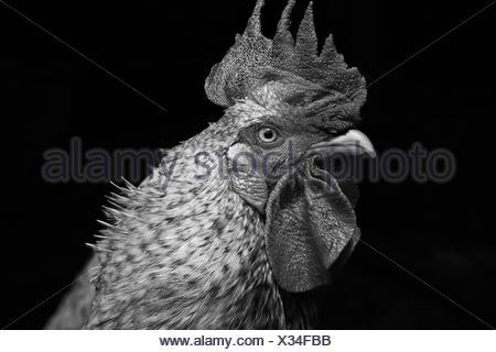 Portrait noir et blanc de coq looking sideways Banque D'Images