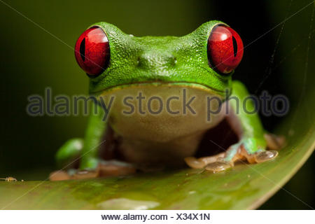 Portrait of a red-eyed tree frog Agalychnis, calidryas. Banque D'Images