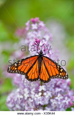 Monarque Danaus plexippus sur fleurs lilas Grand Sudbury Ontario Canada Banque D'Images